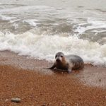 AN UNUSUAL VISITOR SWIMS IN AT VENTNOR