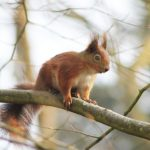 redsquirrelbouldnor