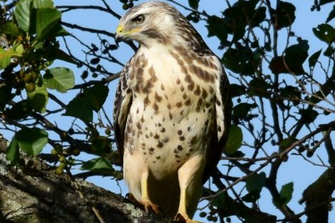Pale phase Buzzard - Josh