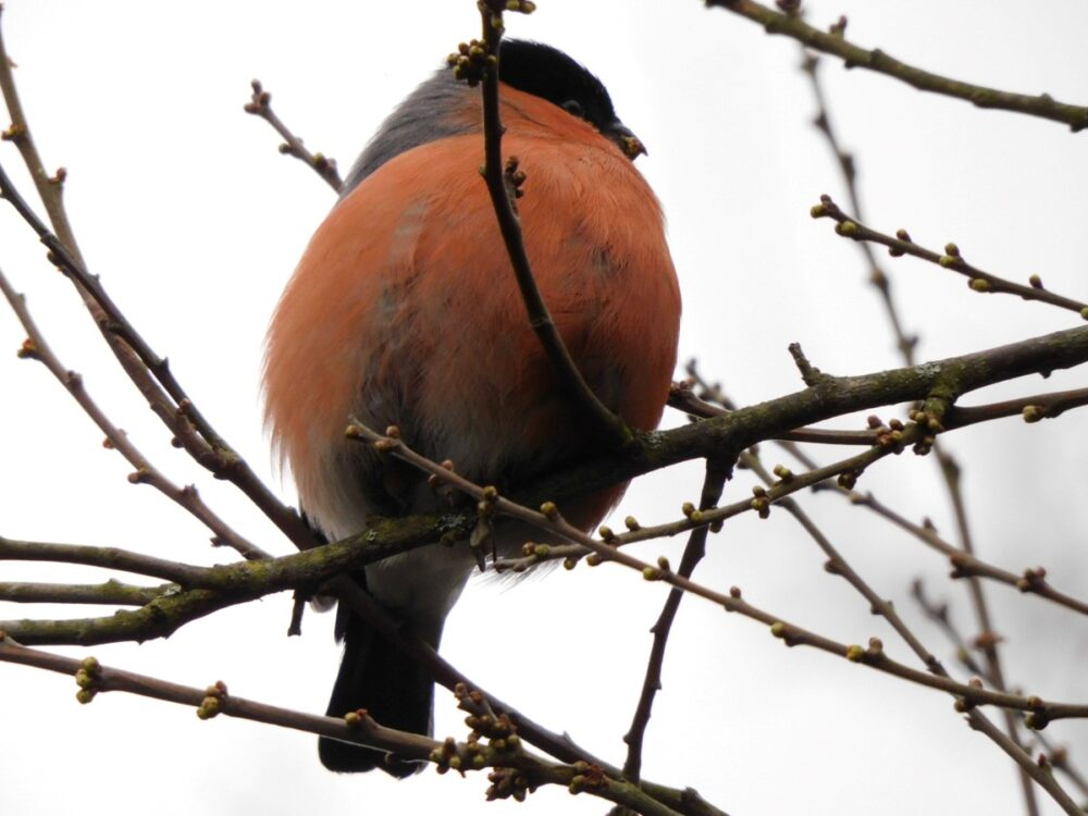 Bullfinch Belly Along Cowes To Newport Cycle Path (andrew Richardson)