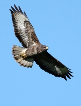 Buzzard In Isle Of Wight (jane Holland) 2