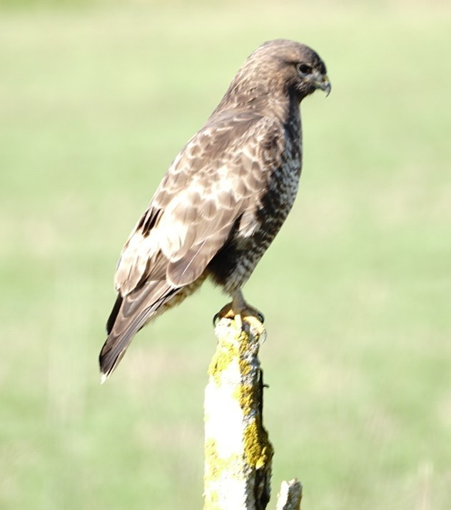 Buzzard In Isle Of Wight (jane Holland)