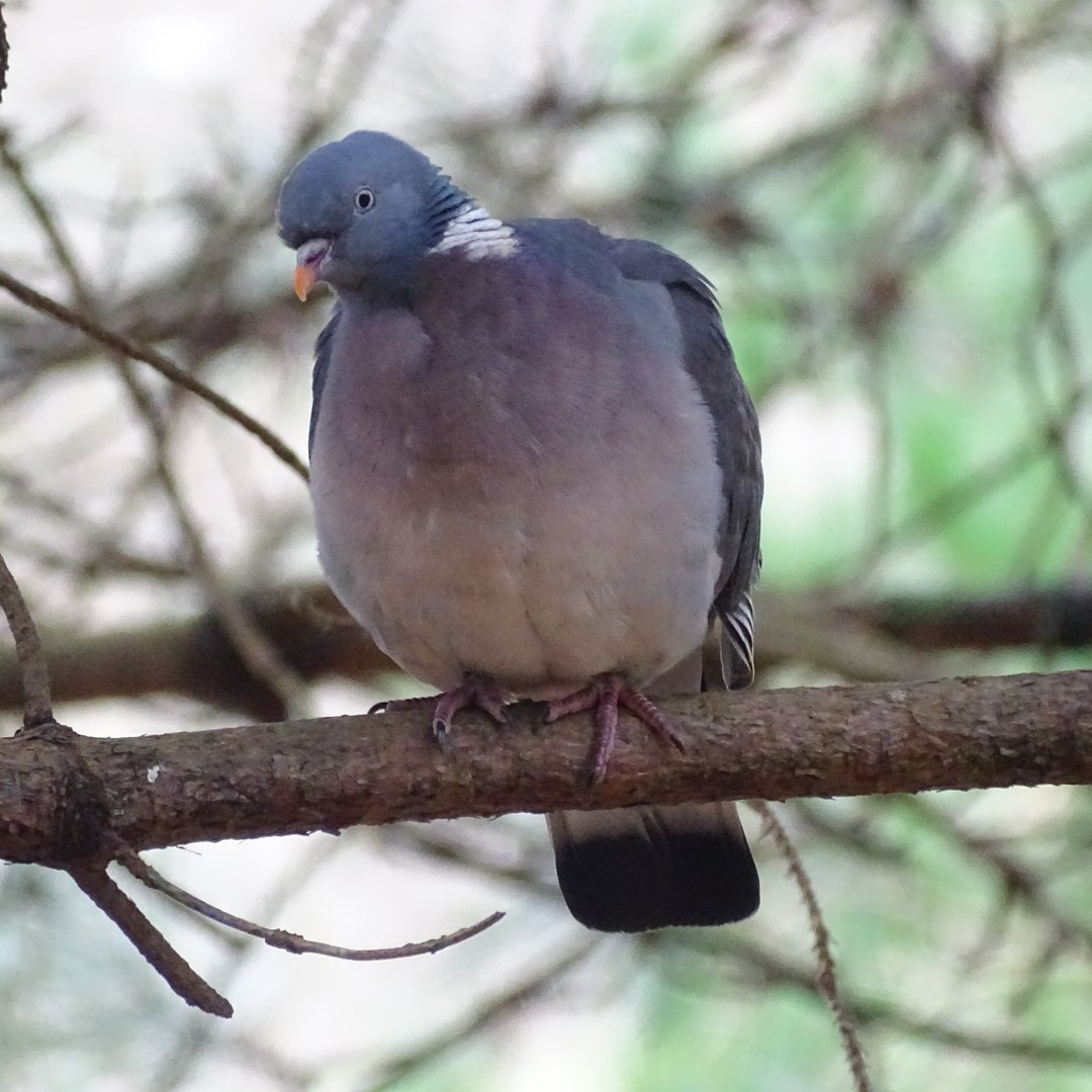 Pigeon In Isle Of Wight (jane Holland)