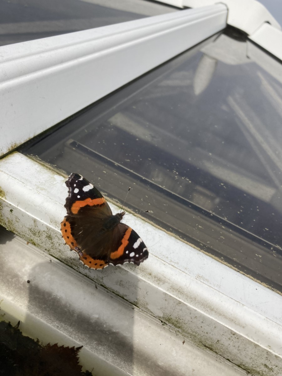 Red Admiral On The Porch Taking In The Sun In Church Road Binstead (carol Pryke)