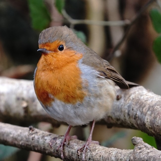 Robin In Isle Of Wight (jane Holland)