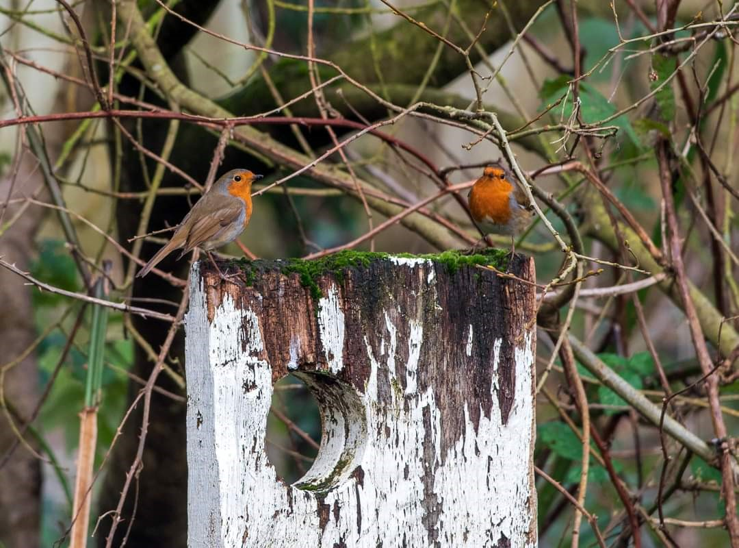 Robins In Cowes (terry Boulton)