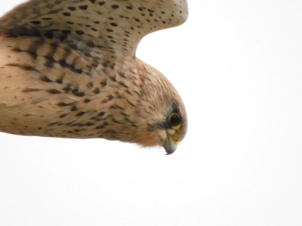 Searching For Lunch Kestrel Along Cowes To Newport Cycle Path (andrew Richardson)