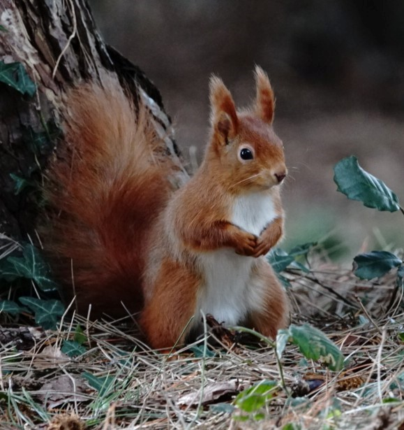 Squirrel In Isle Of Wight (jane Holland)