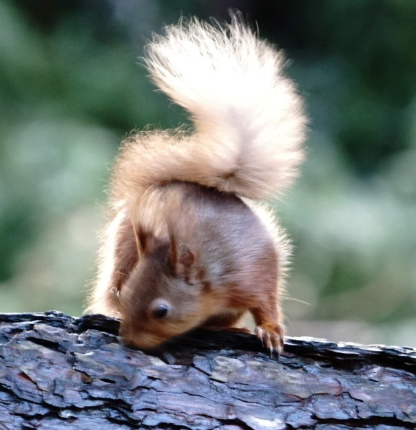 Squirrel In Isle Of Wight (jane Holland) 2
