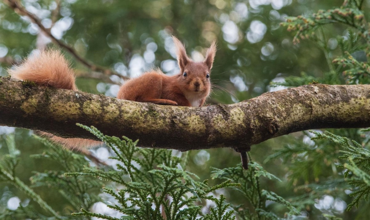 Red Squirrel Cowes (terry Boulton)