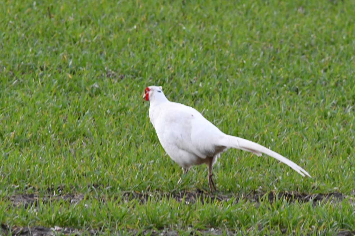 White Pheasant On The Island (linda Belcher)