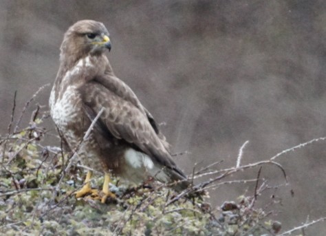 Buzzard ~ Photo Credit Jane Holland