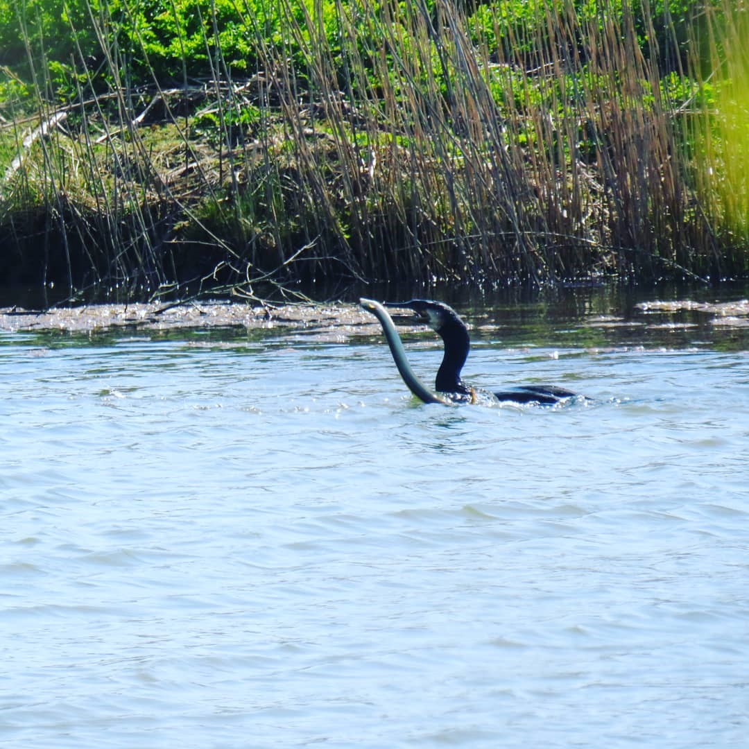Cormorant Catching An Eel Seaview Nature Reserve ~ Photo Credit Joanne Barrett 2
