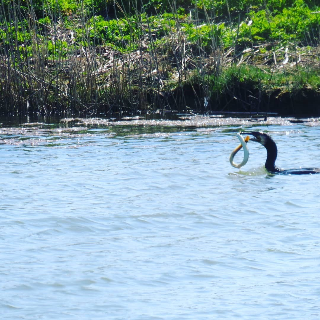 Cormorant Catching An Eel Seaview Nature Reserve ~ Photo Credit Joanne Barrett