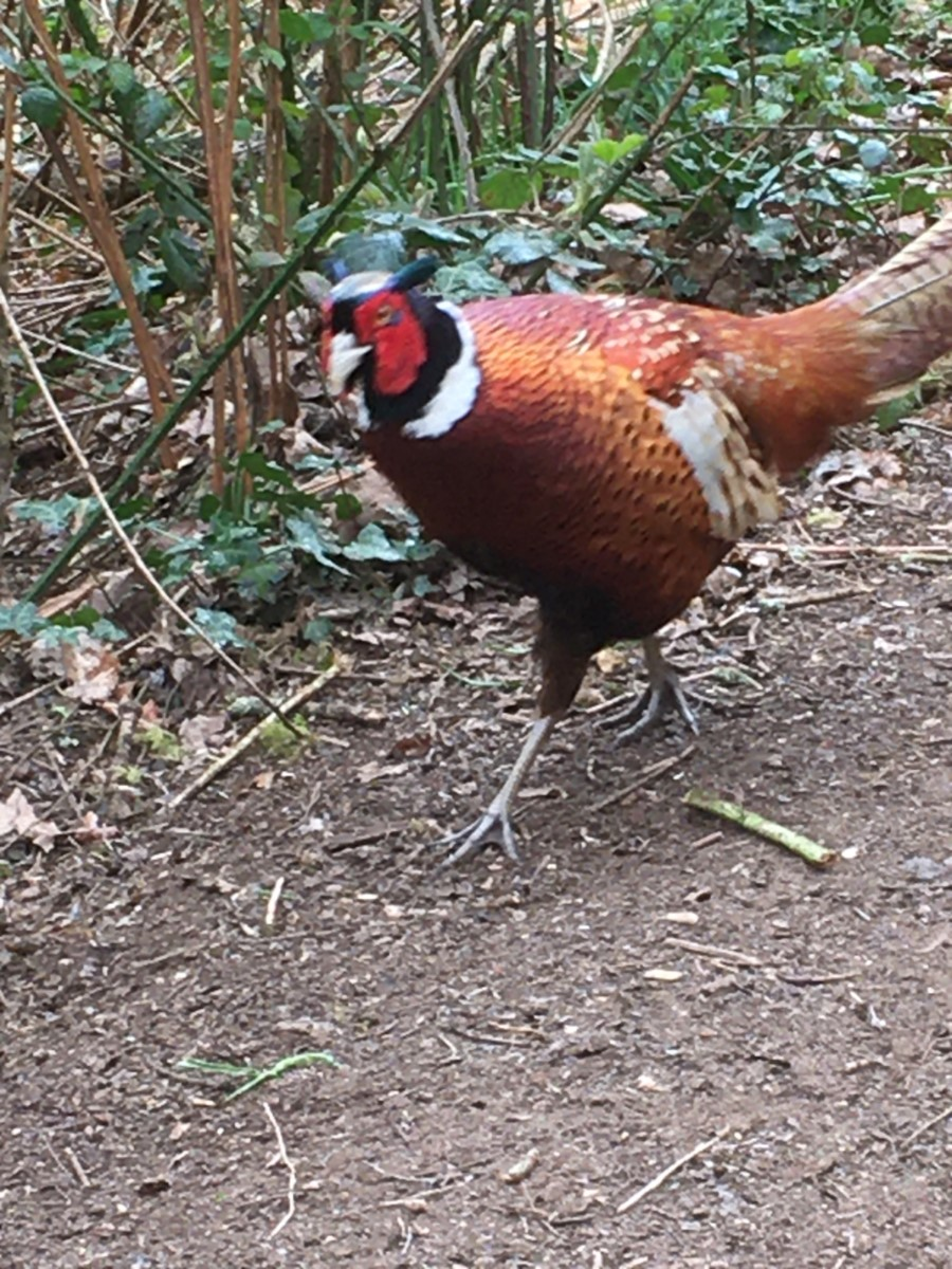 Curious Pheasant! Alverstone ~ Photo Credit Helen Watson