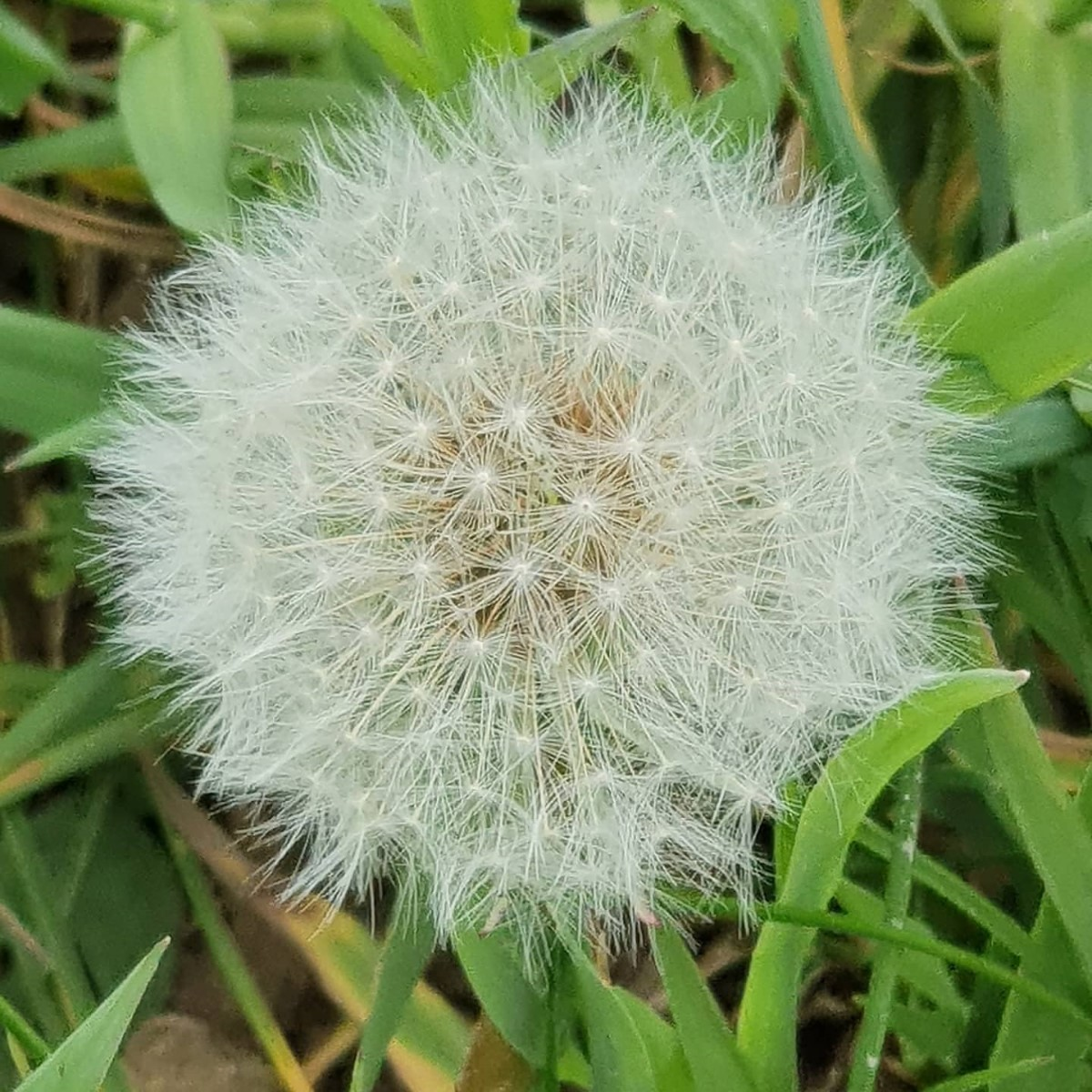 Dandilion~ Photo Credit Linda Scott