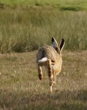 Hare ~ Photo Credit Jane Holland