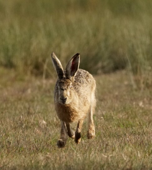 Hare ~ Photo Credit Jane Holland 2