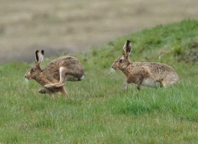 Hare's ~ Photo Credit Jane Holland