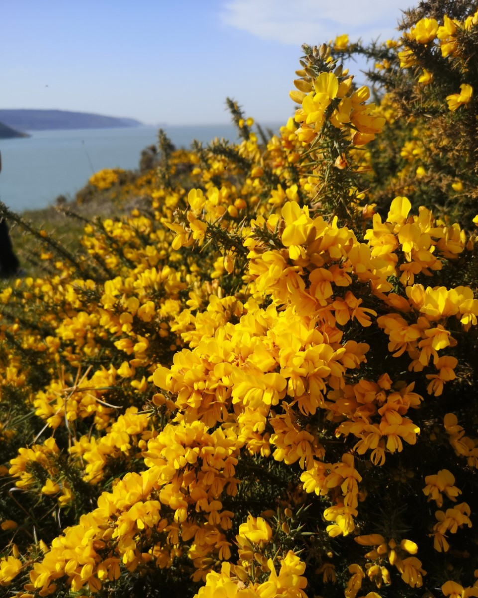 Looking West. The Beautiful Vibrant Yellow Of The Gorse Makes Everything Look So Spring Like. Brambles Chine ~ Photo Credit Lynda Chandler