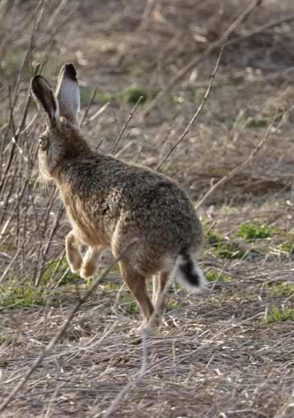 Mad March Hare ~ Photo Credit Jane Holland