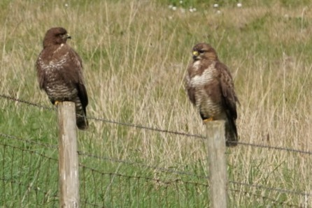 Pair Of Buzzards ~ Photo Credit Jane Holland