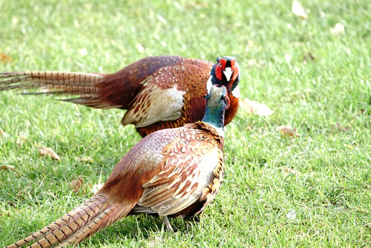 Pheasent Duo ~ Photo Credit Jane Holland