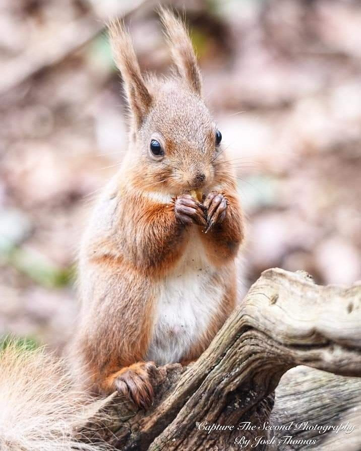 Red Squirrel Enjoying A Walnut ~ Photo Credit Josh Thomas Capture The Second Photography