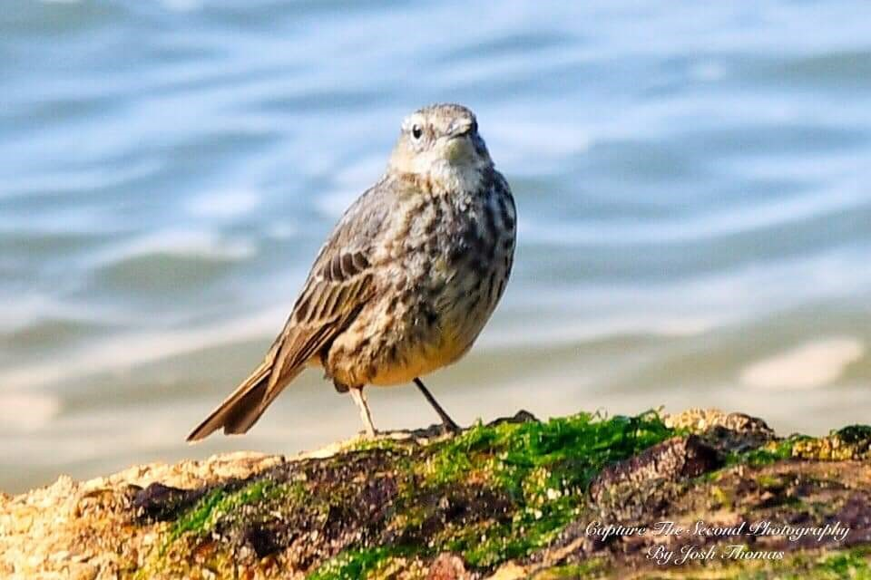 Rock Pipit ~ Photo Credit Josh Thomas Capture The Second Photography