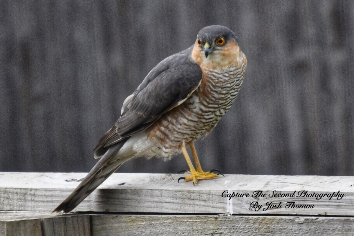 Sparrowhawk On My Garden Fence ~ Photo Credit Josh Thomas