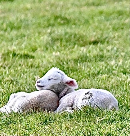 Spring Lambs Having A Snooze Ashey ~ Photo Credit Jane Grewcock