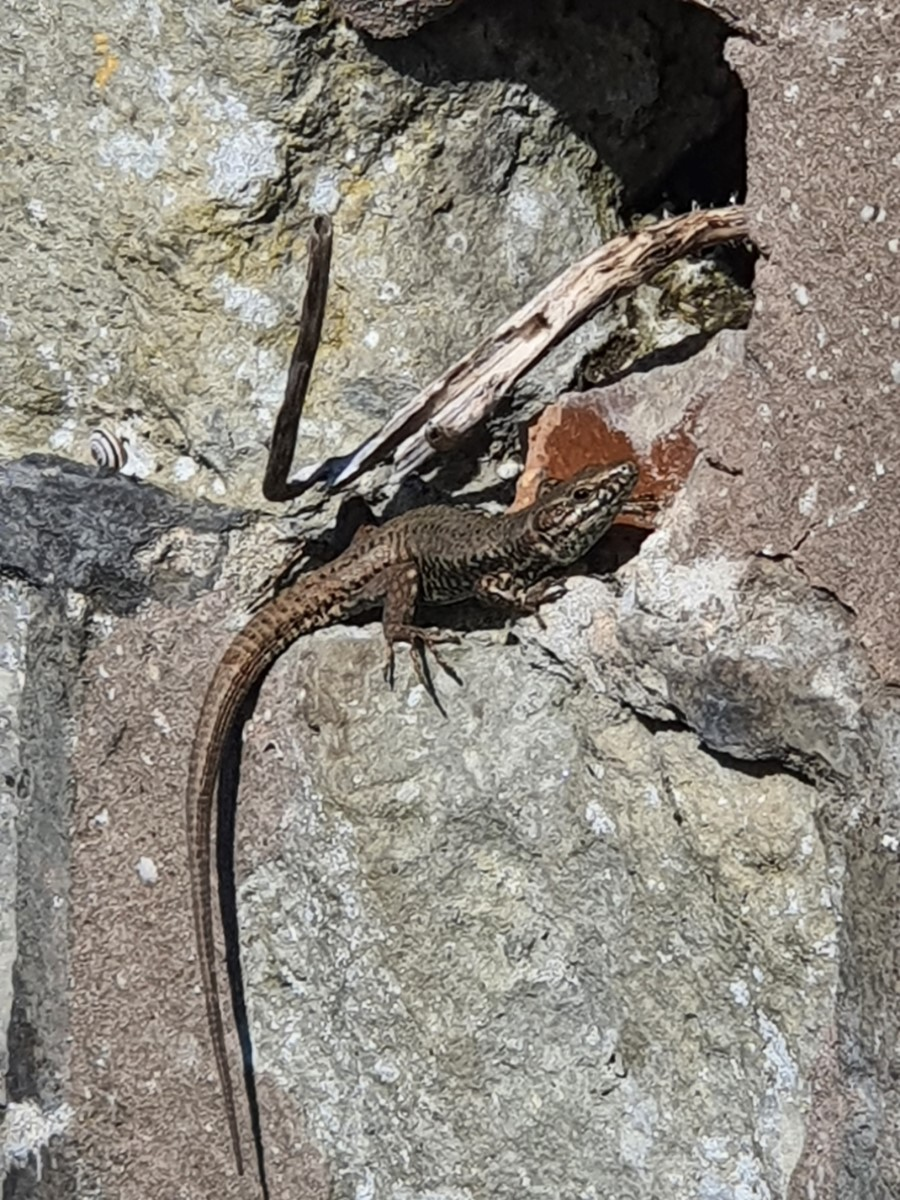 Sunbathing Lizard Ventnor ~ Photo Credit Ross Law